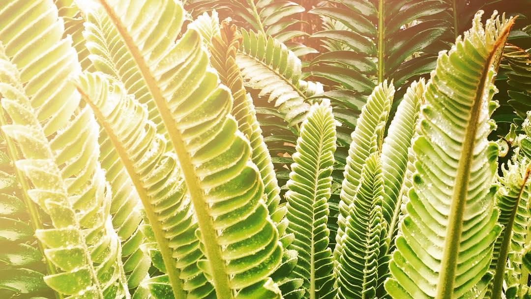 Encephalartos